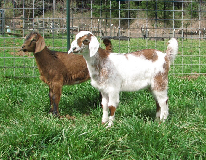 Mini Nubian Goats for Sale